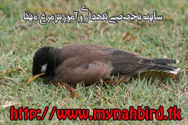 پرسش و پاسخ در خصوص جوجه مرغ مینا - www.mynah.lxb.ir