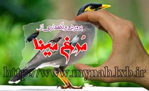 پرورش و آموزش و نگهداری از مرغ مینا  www.Mynah.lxb.ir