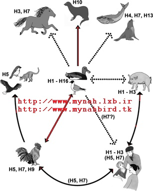 بیماری نیوکاسل در مرغ مینا (نيوكاسل