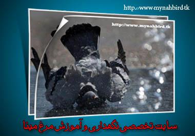 وقتی حیوانات هم در گرما گُر میگیرند!  سایت تخصصی نگهداری و آموزش مرغ مینا    www.mynahbird.tk